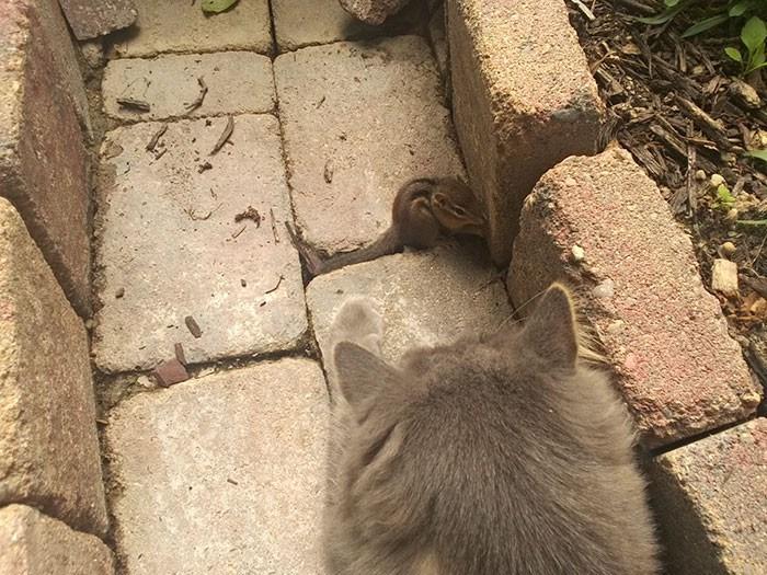 cat chipmunk friendship - Cat