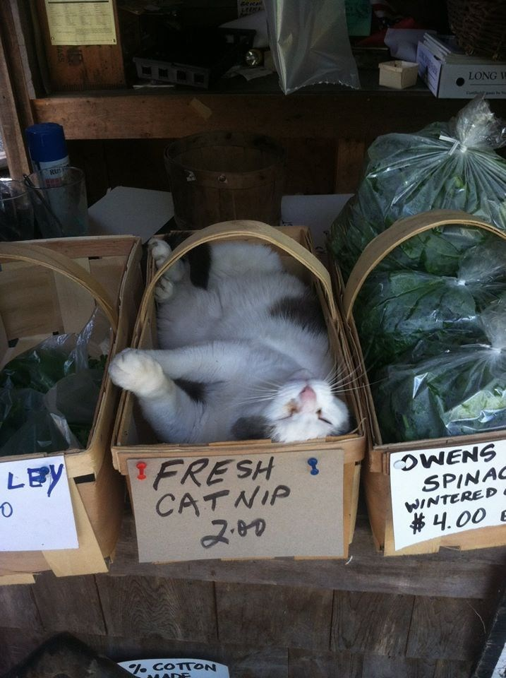 fresh catnip for sale where a cat is napping
