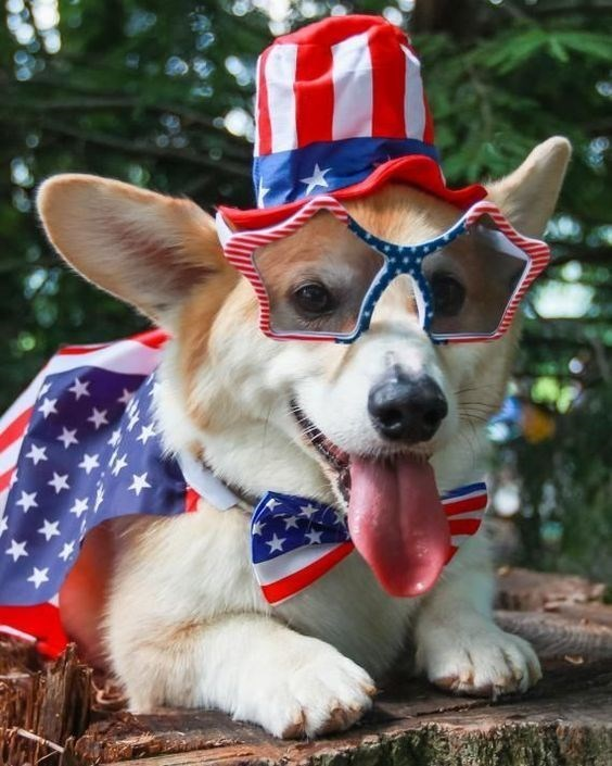 patriotic pet - Dog