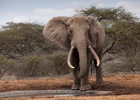 american animals - Elephant