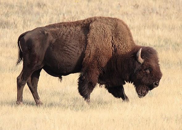 american animals - Bison
