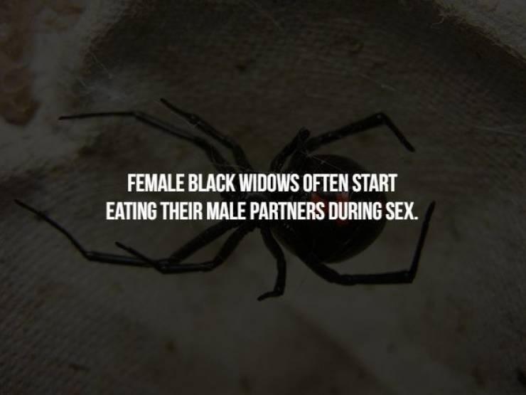 animal fact - Eyewear - FEMALE BLACK WIDOWS OFTEN START EATING THEIR MALE PARTNERS DURING SEX.
