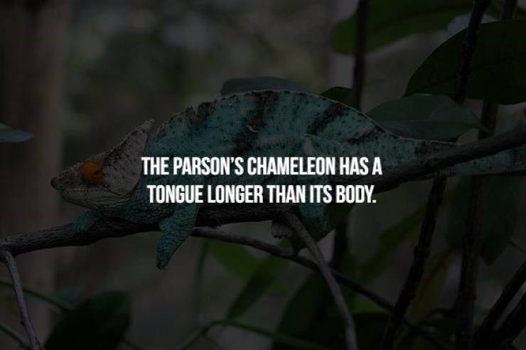 animal fact - Chameleon - THE PARSON'S CHAMELEON HAS A TONGUE LONGER THAN ITS BODY