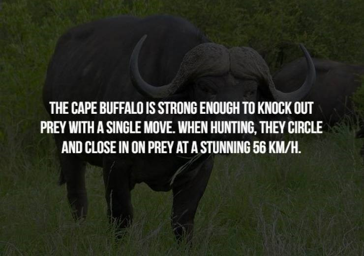 animal fact - Mammal - THE CAPE BUFFALO IS STRONG ENOUGH TO KNOCK OUT PREY WITH A SINGLE MOVE. WHEN HUNTING, THEY CIRCLE AND CLOSE IN ON PREY AT A STUNNING 56 KM/H.
