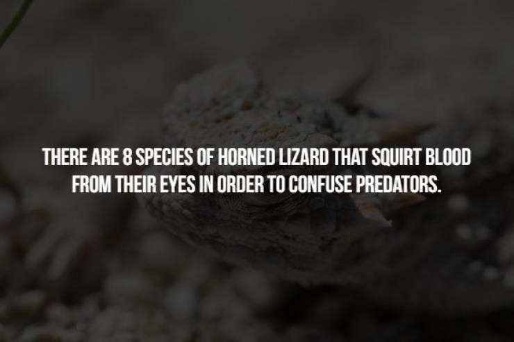 animal fact - Text - THERE ARE 8 SPECIES OF HORNED LIZARD THAT SQUIRT BLOOD FROM THEIR EYES IN ORDER TO CONFUSE PREDATORS.