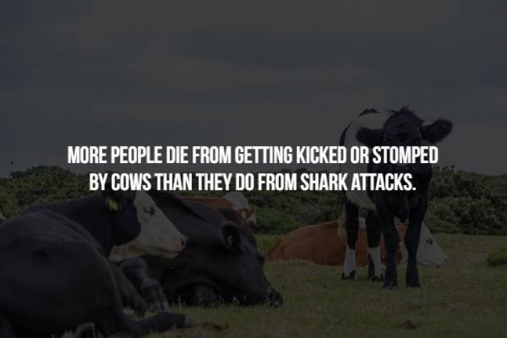 animal fact - Bovine - MORE PEOPLE DIE FROM GETTING KICKED OR STOMPED BY COWS THAN THEY DO FROM SHARK ATTACKS.