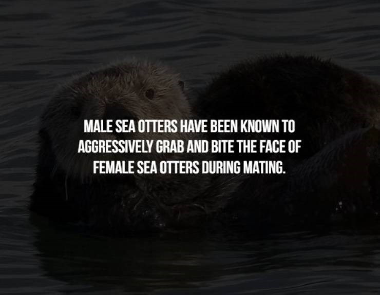 animal fact - Sea otter - MALE SEA OTTERS HAVE BEEN KNOWN TO AGGRESSIVELY GRAB AND BITE THE FACE OF FEMALE SEA OTTERS DURING MATING.