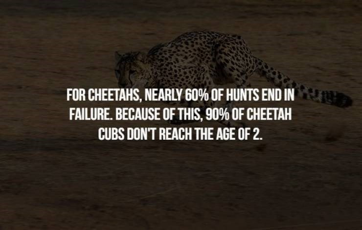 animal fact - Felidae - FOR CHEETAHS, NEARLY 60% OF HUNTS END IN FAILURE. BECAUSE OF THIS, 90% OF CHEETAH CUBS DON'T REACH THE AGE OF 2.