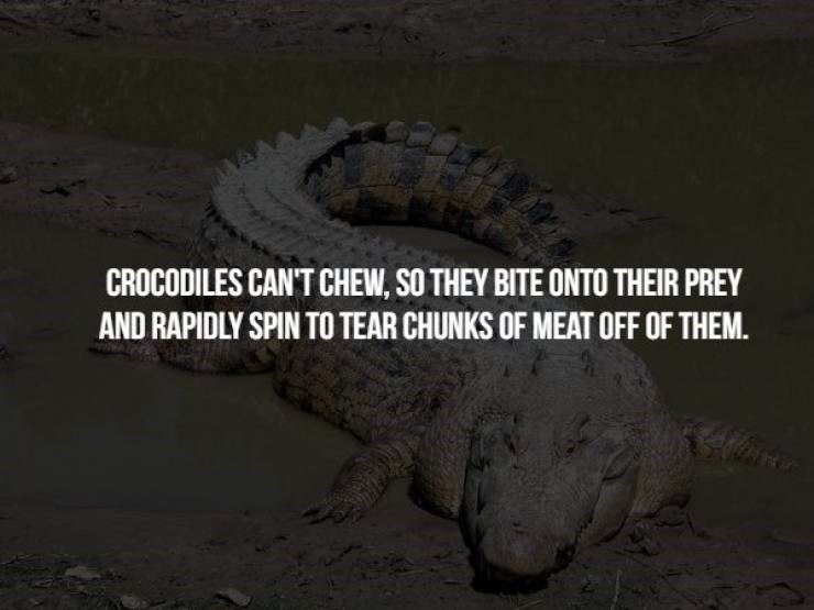 animal fact - Crocodilia - CROCODILES CAN'T CHEW, SO THEY BITE ONTO THEIR PREY AND RAPIDLY SPIN TO TEAR CHUNKS OF MEAT OFF OF THEM.