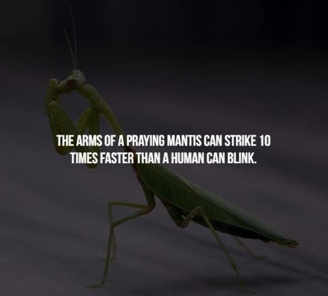 animal fact - Insect - THE ARMS OF A PRAYING MANTIS CAN STRIKE 10 TIMES FASTER THAN A HUMAN CAN BLINK.