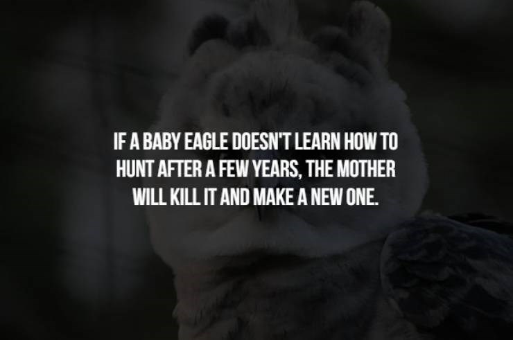 animal fact - Text - IF A BABY EAGLE DOESN'T LEARN HOW TO HUNT AFTER A FEW YEARS, THE MOTHER WILL KILL IT AND MAKE A NEW ONE