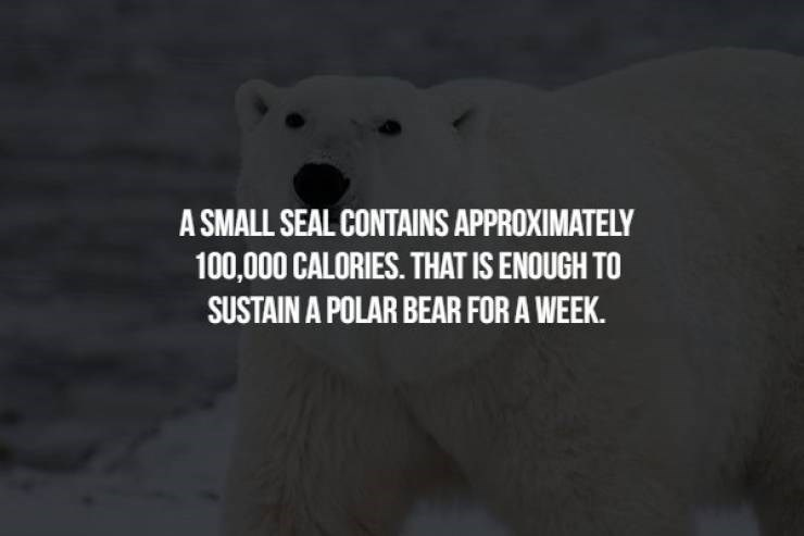 animal fact - Bear - A SMALL SEAL CONTAINS APPROXIMATELY 100,000 CALORIES. THAT IS ENOUGH TO SUSTAIN A POLAR BEAR FOR A WEEK