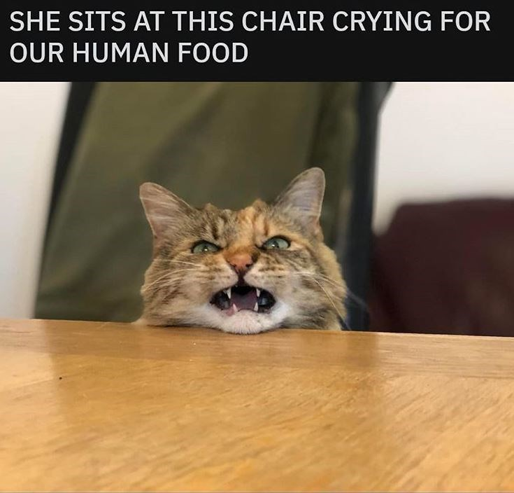 Cat - SHE SITS AT THIS CHAIR CRYING FOR OUR HUMAN FOOD