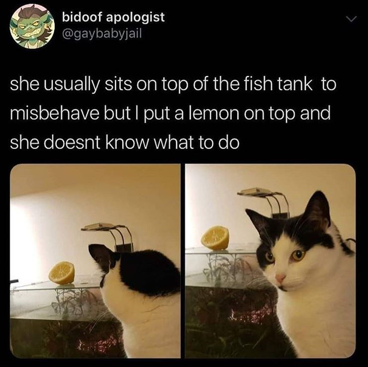 Cat - bidoof apologist @gaybabyjail she usually sits on top of the fish tank to misbehave but I put a lemon on top and she doesnt know what to do