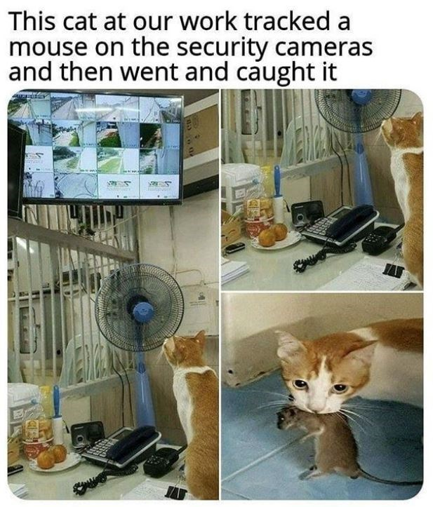 Cat - This cat at our work tracked a mouse on the security cameras and then went and caught it ED MENWA