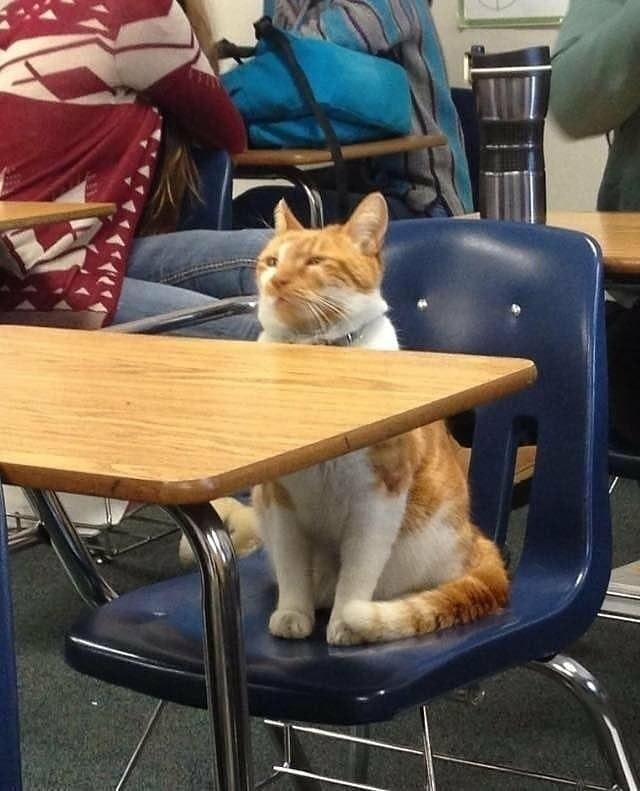 classroom cat - Cat