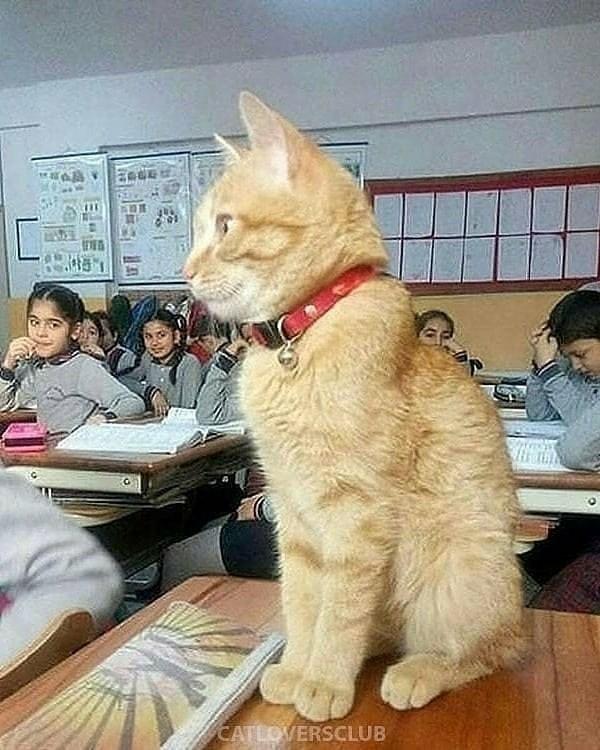 classroom cat - Cat - CATLOVERSCLUB