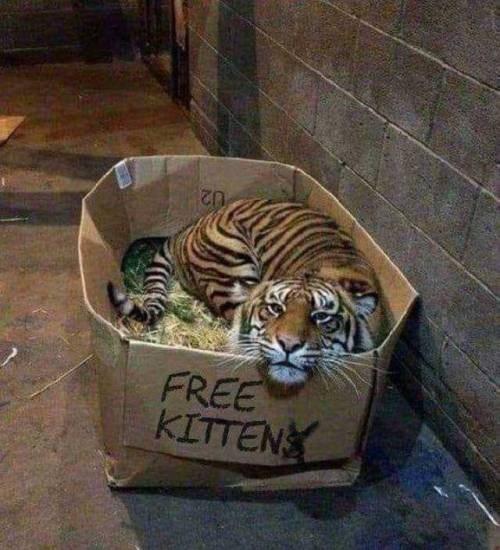 animal meme - Tiger - FREE KITTEN