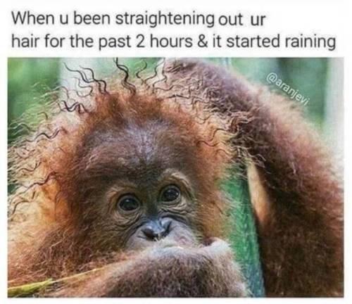 animal meme - Vertebrate - When u been straightening out ur hair for the past 2 hours & it started raining @aranjevi