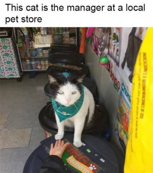 animal meme - Cat - This cat is the manager at a local pet store COchorr aCAO MCM DE aga