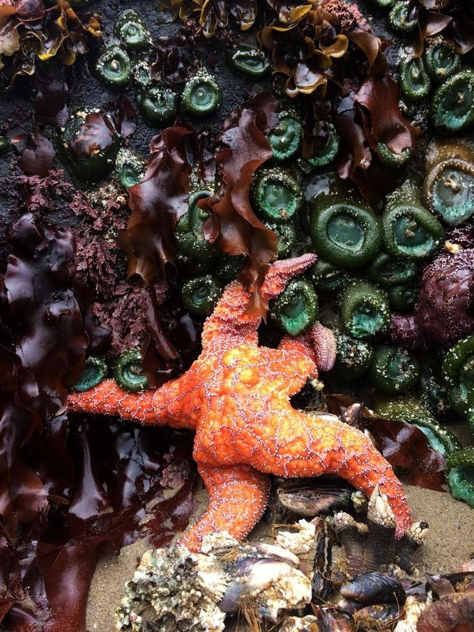 fat orange starfish with seaweed