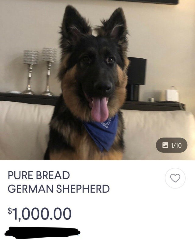 Mammal - 1/10 PURE BREAD GERMAN SHEPHERD $1,000.00