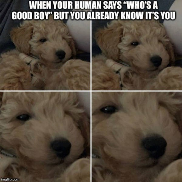 """Dog - WHEN YOUR HUMAN SAYS """"WHO'S A GOOD BOY"""" BUT YOUALREADY KNOW ITS YOU imgflip.com"""