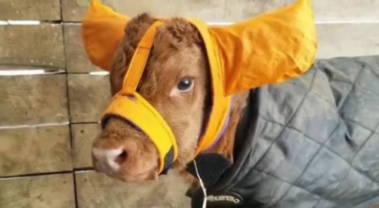 baby cows ear muffs - Dog breed - tTERS