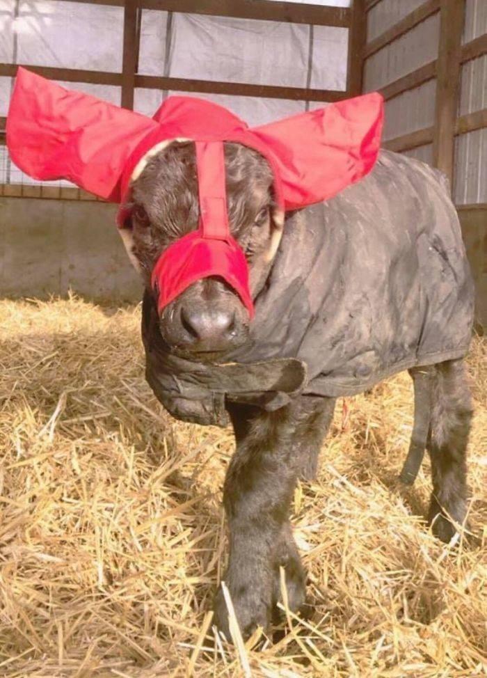 baby cows ear muffs - Straw