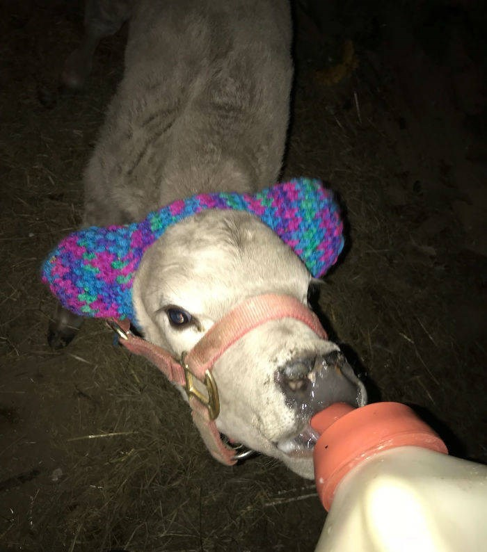 baby cows ear muffs - Snout