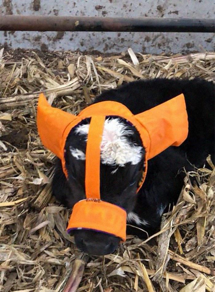 baby cows ear muffs