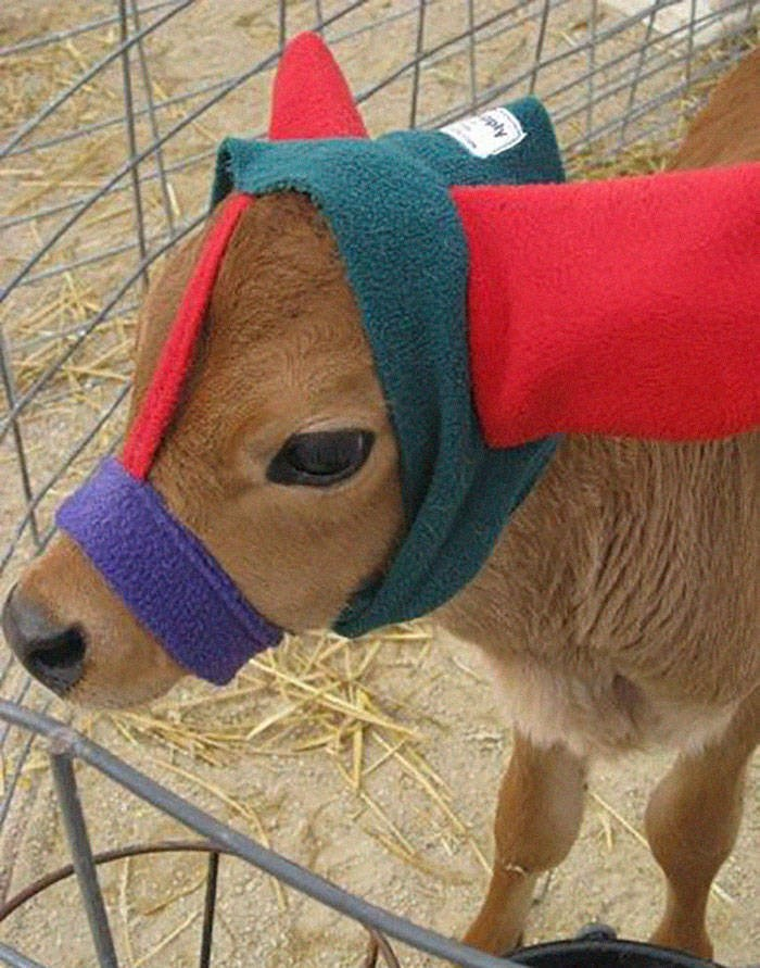 baby cows ear muffs - Snout - pty