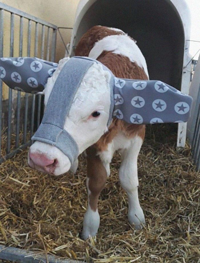 baby cows ear muffs - Bovine