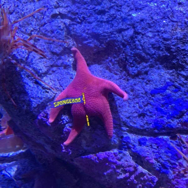 thick starfish - Fish - SPONGEBOB