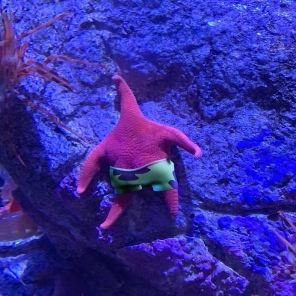 thick starfish - Fish
