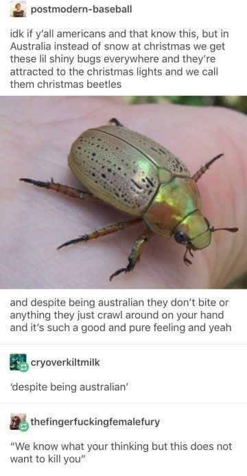 """animal meme - Insect - postmodern-baseball idk if y'all americans and that know this, but in Australia instead of snow at christmas we get these lil shiny bugs everywhere and they're attracted to the christmas lights and we call them christmas beetles and despite being australian they don't bite or anything they just crawl around on your hand and it's such a good and pure feeling and yeah cryoverkiltmilk 'despite being australian' thefingerfuckingfemalefury """"We know what your thinking but this d"""
