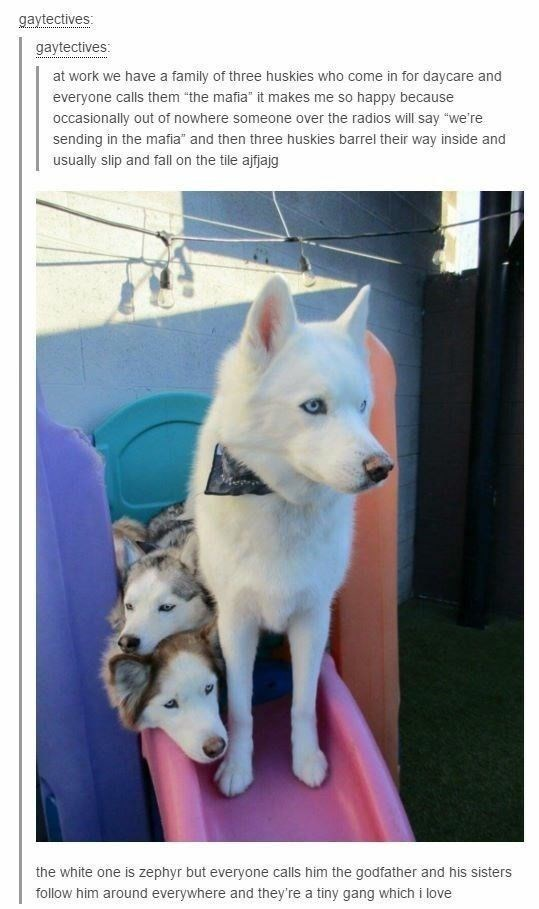 """animal meme - Mammal - gaytectives: gaytectives: at work we have a family of three huskies who come in for daycare and everyone calls them """"the mafia"""" it makes me so happy because occasionally out of nowhere someone over the radios will say """"we're sending in the mafia"""" and then three huskies barrel their way inside and usually slip and fall on the tile ajfjajg the white one is zephyr but everyone calls him the godfather and his sisters follow him around everywhere and they're a tiny gang which i"""