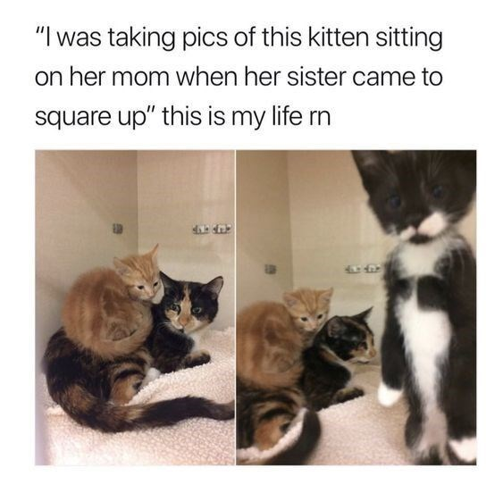 """animal meme - Cat - """"I was taking pics of this kitten sitting on her mom when her sister came to square up"""" this is my life rn"""