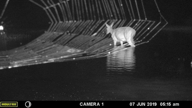 black and white night photo looks like a deer is walking through a huge spider web