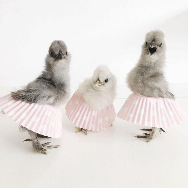 ballet chicken - Feather