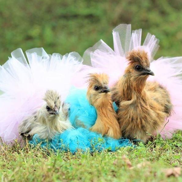 ballet chicken - Bird