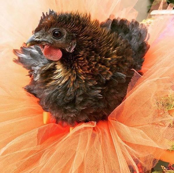 ballet chicken - Chicken
