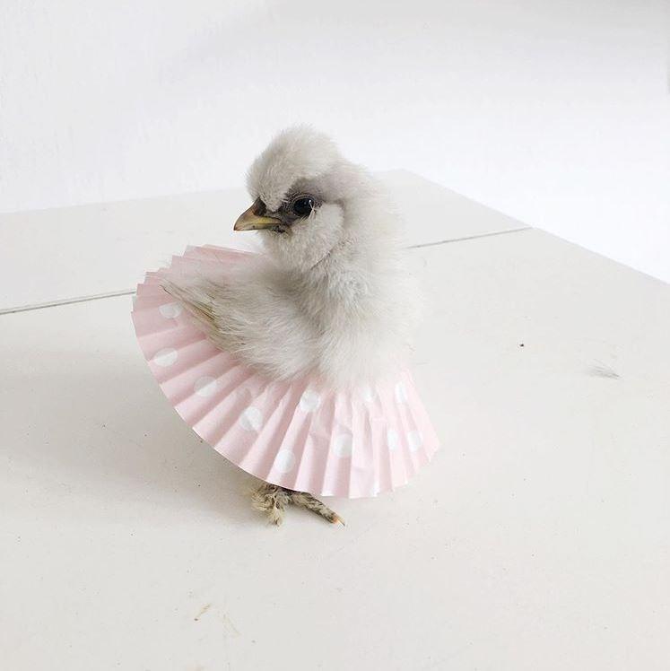 ballet chicken - White