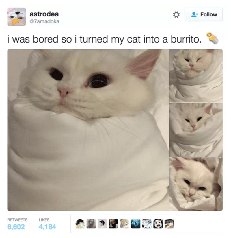 cat tweet - Cat - astrodea Follow @7amadoka i was bored so i turned my cat into a burrito. RETWEETS LIKES 6,602 4,184