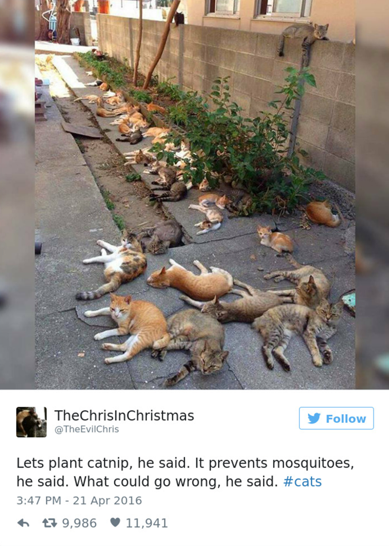 cat tweet - Adaptation - TheChrisInChristmas @The EvilChris Follow Lets plant catnip, he said. It prevents mosquitoes, he said. What could go wrong, he said. #cats 3:47 PM - 21 Apr 2016 9,986 11,941