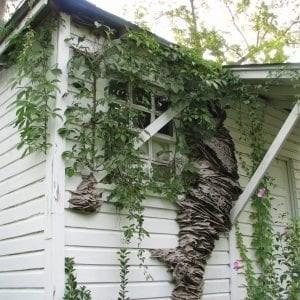 yellow jackets nest - Tree