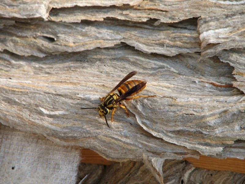 yellow jackets nest - Insect