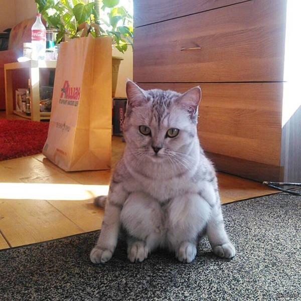 sitting weird - Cat - Auwck pikatutu