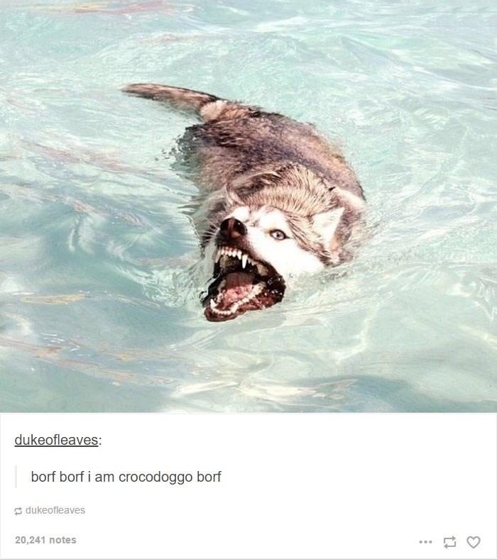Marine mammal - dukeofleaves: borf borf i am crocodoggo borf dukeofleaves 20,241 notes