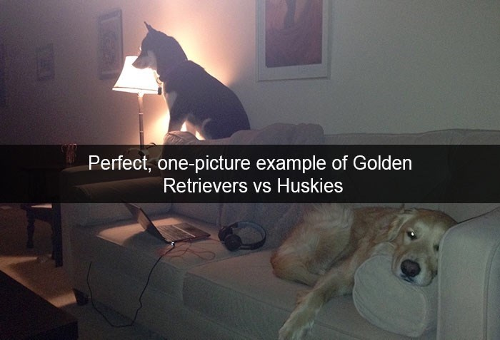 Room - Perfect, one-picture example of Golden Retrievers vs Huskies